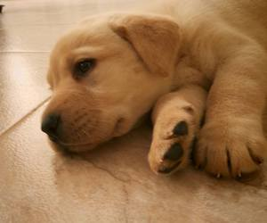 dog, funny, and labrador image