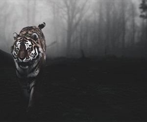 dark, tiger, and tigers image