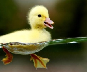 duckling and swimming image