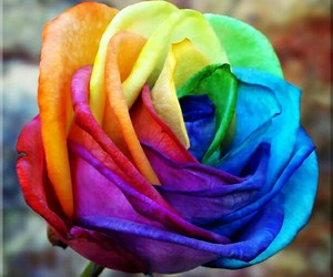 nature and rainbow rose image