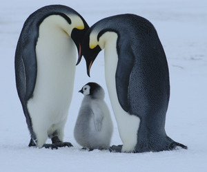 penguin and family image