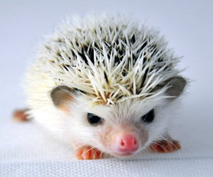 angry, hedgehog, and pigmy image