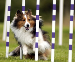 collie, dog, and poles image