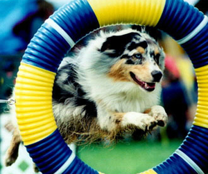 border, collie, and dog image