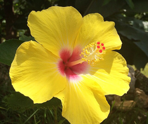 flower, hibiscus, and nature image
