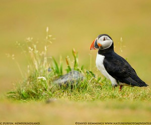 bird and puffin image