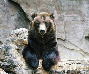 bear, animal, and cute image