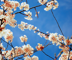 cherry blossoms, floral, and japan image