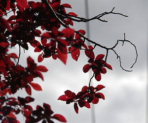 leaves, nature, and red image