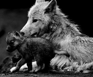animal, wolf, and wild image