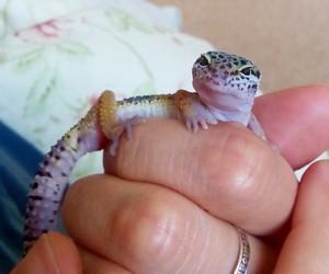 gecko, leopard gecko, and lizard image