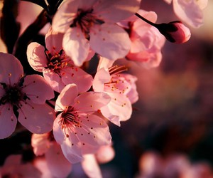 cherry blossom and wallpaper image