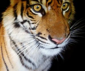 tiger, animal, and gif image