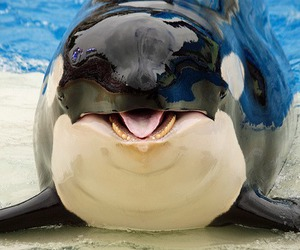 whale, animal, and killer whale image
