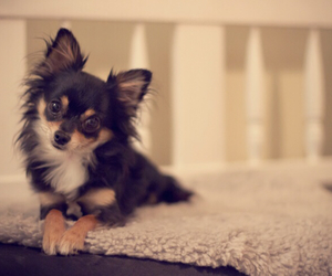 animal, chihuahua, and puppy image