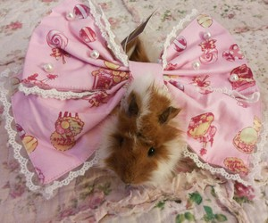 cuy, guinea pig, and pet image