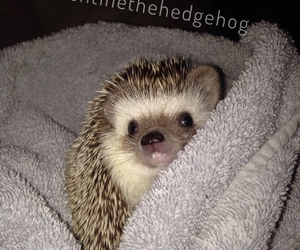 animal, hedgehog, and photography image