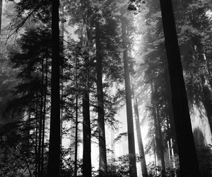 black and white, forest, and fog image