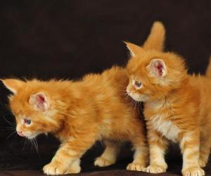 kittens, Maine, and coon image