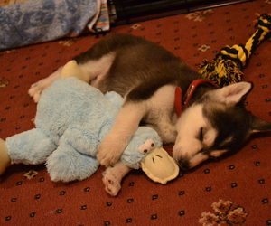 cute, husky, and dog image
