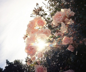 rose, flowers, and sun image