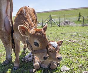 calf image