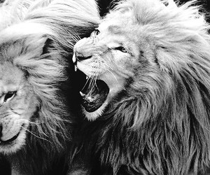 beautiful, black and white, and lions image