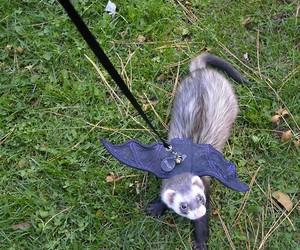 ferret and Halloween image