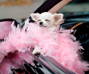 dog, pink, and chihuahua image