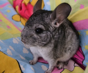 animal, Chinchilla, and kawaii image