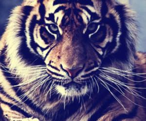tiger, animal, and bitch image