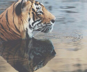 nice, tiger, and water image