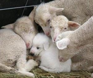 dog, sheep, and animal image