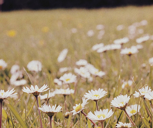 daisies, grass, and marie antoinette image