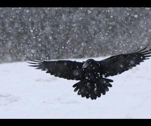 bird, raven, and kruk image
