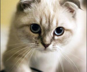 cat, scottish fold, and kitten image
