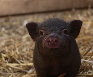 cochon, cuty, and mignon image