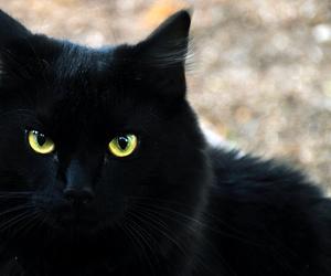 black, feline, and kitty image