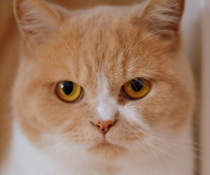 cat, kitty, and british shorthair image