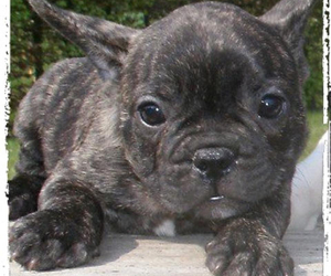 french bulldog, puppy, and love image