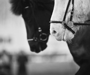 black, horse, and black an white image