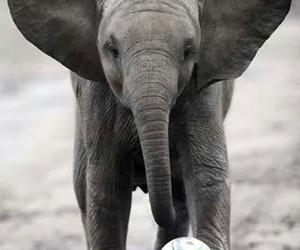 elephant, animal, and football image