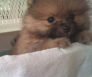 lovely, pomeranian, and puppy image