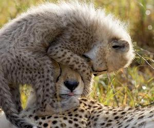 animal, cheetah, and cat image