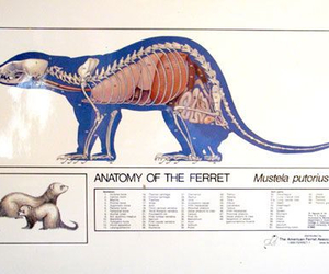 anatomy, ferret, and illustration image