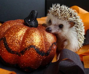 Halloween, hedgehog, and pumpkin image