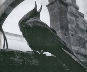 raven, crow, and black and white image