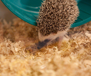 adorable, hedgehog, and cute image