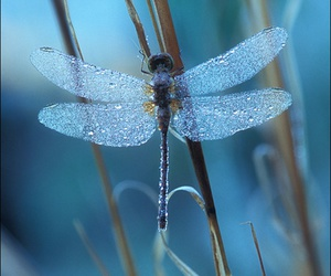 dragonfly, blue, and photography image