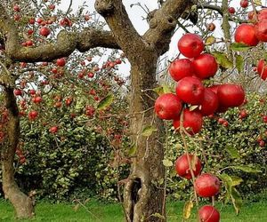 apple and tree image